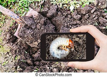 man taking photo of grub of cockchafer in garden - garden...