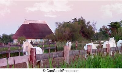 camargue horses - France Camargue landscape with beautiful...