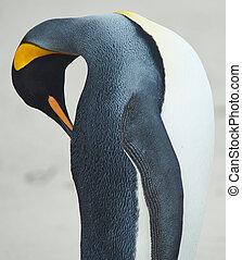King Penguin Aptenodytes patagonicus preening its...