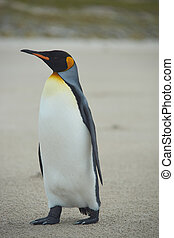 King Penguin Aptenodytes patagonicus on the beach of Sandy...