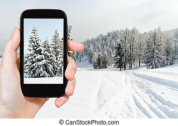 tourist taking photo of snowbound fir trees - travel concept...