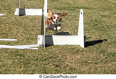 Pet dog racing agility course jump - Brown and white spaniel...