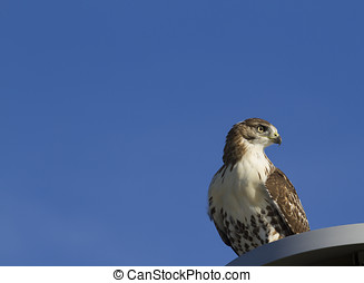 red tail hawk - a red tail hawk on a man made light stand