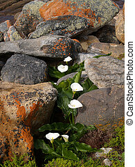 Calla Lillies in rocky environment. - Calla Lillies in rocky...