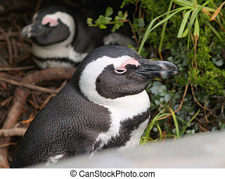 Jack ass Penguins, South Africa. - Jack Ass penguins of...