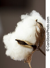 Fresh white cotton bolls ready for harvesting - Fresh white...