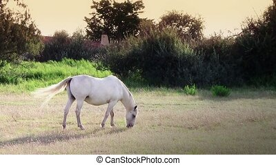 white horse - France, Camargue. Beautiful white horse in...