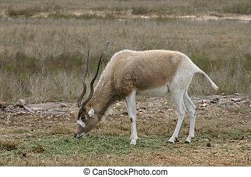 Addax 1 - An endangered Addax grazes on the savannah