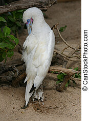 Albino Blue-Footed Booby - Albino blue-footed booby rests on...