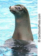 Endangered Seal at Attention - A endangered seal rises up in...