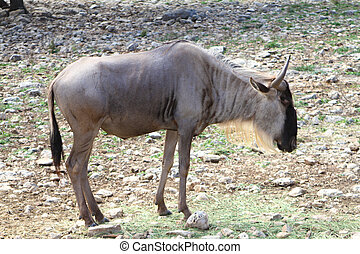 Gnu Wildebeest - A Gnu Wildebeest grazing on the african...