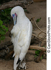 White Blue-Footed Booby - An albino blue-footed booby...