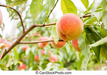 Peaches - Riped delicious peaches on branches, in a garden