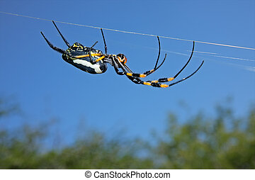Golden orb web spider Nephila senegalensis against a blue...