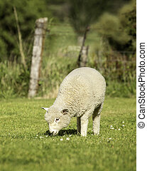 romney lamb - a romney lamb feeding on grass