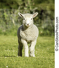 romney lamb - a romney lamb standing on the grass