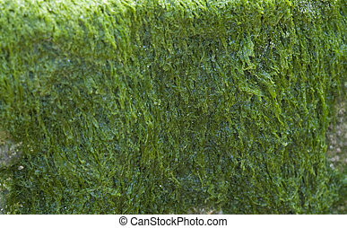 Wet algae - Wet green algae covering a rock perfect for...