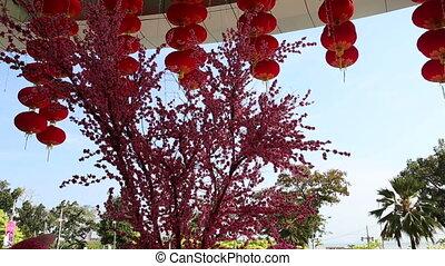 red chinese lantern turns over pink flowered sakura