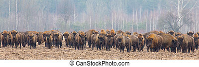 European Bison herd in snowless winter time against pine...