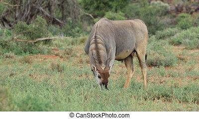 Feeding eland antelope (Tragelaphus oryx), Mokala National...