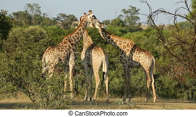 Giraffes in natural habitat - A group of giraffes (Giraffa...