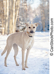 Mixed breed dog on the snow - Red mixed breed dog standing...