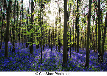 Beautiful morning in Spring bluebell forest with sun beams...