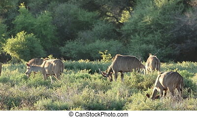 Kudu antelopes feeding - Group of kudu antelopes Tragelaphus...