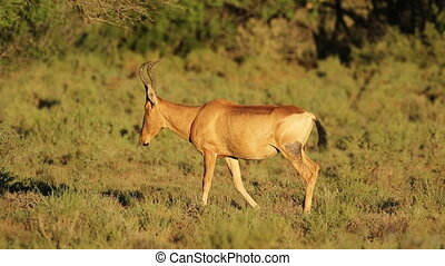 Red hartebeest antelope walking - A red hartebeest antelope...