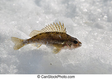 Fish ruff - caught fish on ice fishing ruff