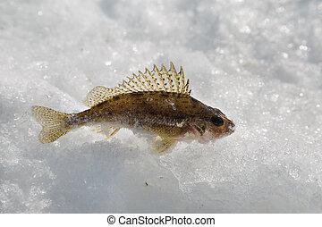 Fish ruff - caught fish on ice fishing ruff