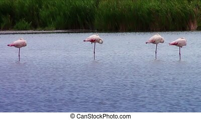 sleeping flamingos - pink flamingos colony