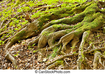 Tree roots - Tree root covered with moss in a forest