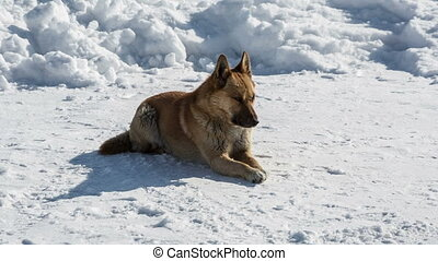 Dog - Red dog lying on snow in winter
