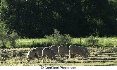 Sheep on pasture - Merino sheep grazing on pasture in late...