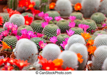 different blossoming cactuses on a show-window of flowers...