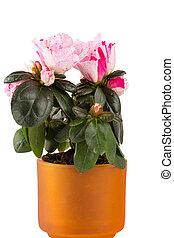Two-color, mini-azalea, ligado, Um, branca, fundo,