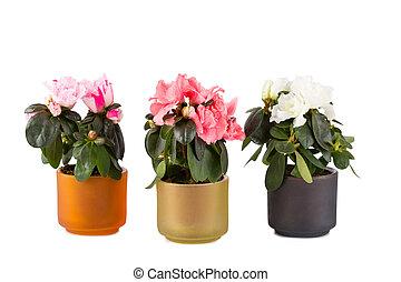 três, florescer, mini-azaleas, de, diferente, cor,...