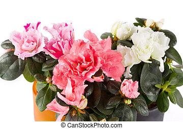 três, florescer, mini-azaleas, de, diferente, cor, fim,...