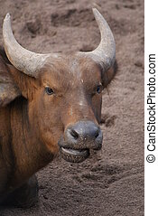 africano, bosque, búfalo, -, Syncerus, Caffer, nanus,...