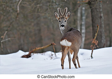 Roe deer - Photo of roe deer in winter