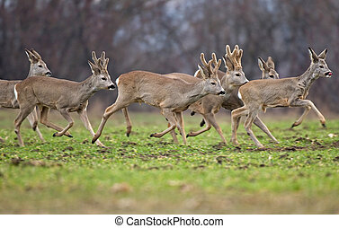 Roe deer herd - Photo of roe deer herd running