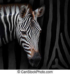 Zebra - Close-up zebra with background zebra stripes.