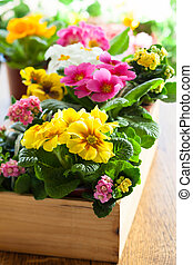 Primula in flower pot - Fresh colorful primula in wooden...