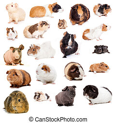 Guinea pigs, isolated on the white background