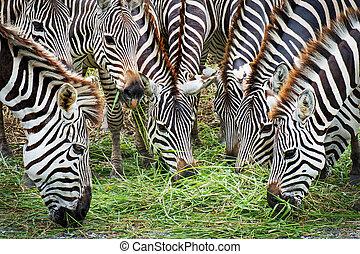 Zebra eating grass family