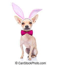 bunny ears dog - chihuahua dog with bunny easter ears and a...