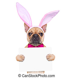 bunny easter ears dog - french bulldog dog with bunny easter...