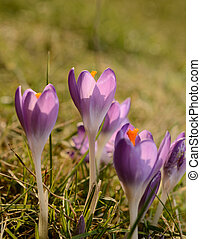 Crocus - Pink crocus on a green meadow
