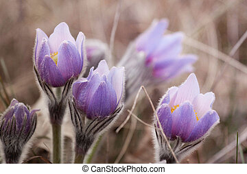 beautiful flower Pulsatilla patens - beautiful flower...